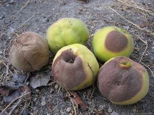 Quince Stricken by Brown Rot